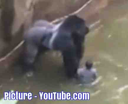 Free 2-page printable mini-lesson on the shooting of a gorilla at a zoo in the USA.