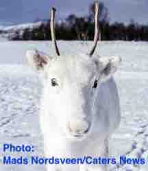 Free 2-page printable mini-lesson on a photograph of a rare white reindeer in Norway...in time for Christmas.